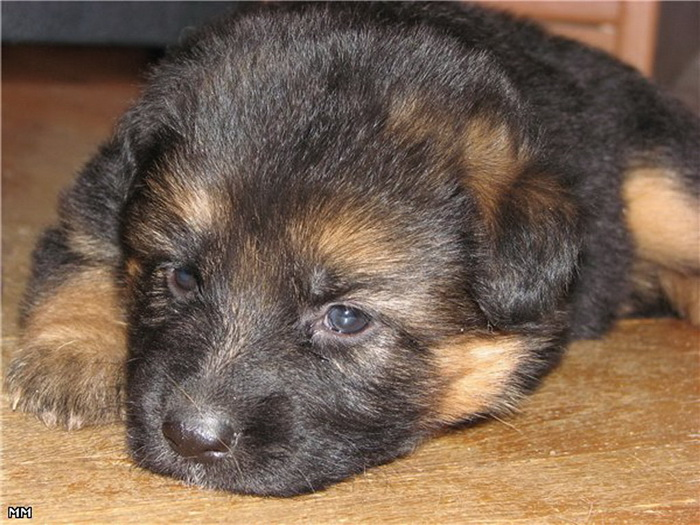 фото немецкой овчарки щенка