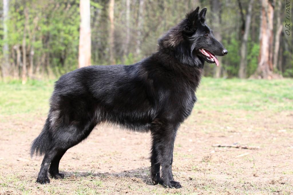 чёрная овчарка порода фото