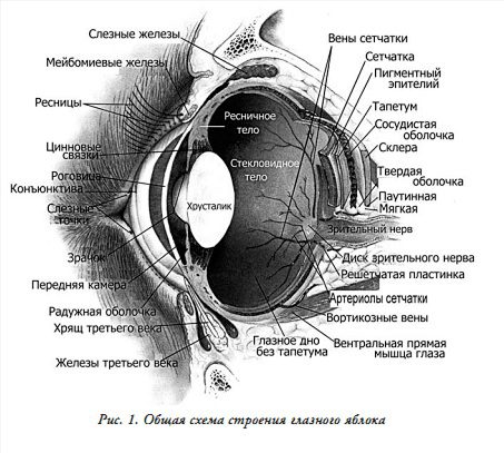 Строение глаза животного
