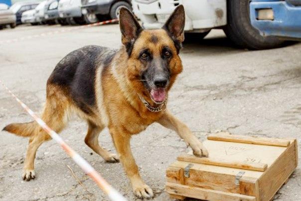 овчарка служебная собака