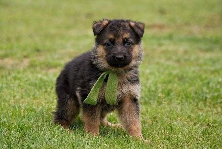 Как правильно воспитать из щенка хорошую, послушную собаку: секреты воспитания щенка и уход за ним