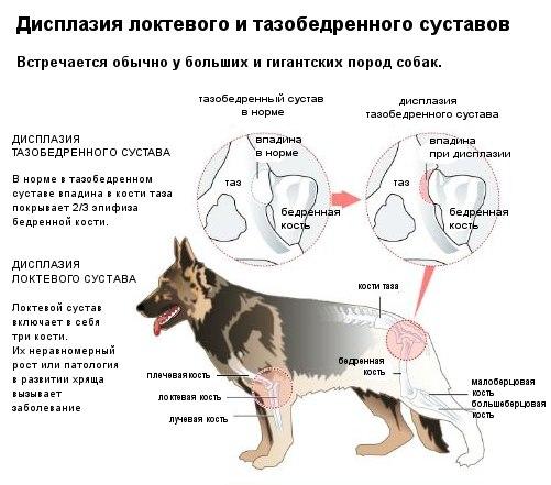 не развит тахобердернный сустав у щенка что делать