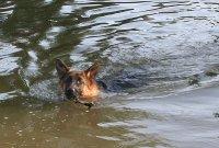 Приучение собаки к плаванию