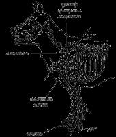 Углы передних конечностей немецкой овчарки