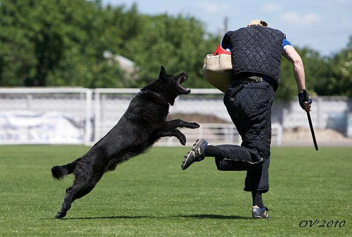 Собака должна гулять только в наморднике и поводке!